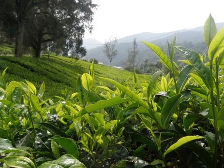 tea-667228_640